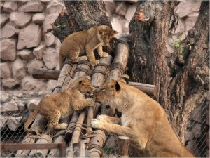 Caption : Lioness baby in Lucknow ZooCaption : Azam Husain